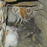 Adult Barn Owls in their nest crevice with young