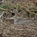 Female Curlew incubating eggs