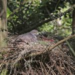 Female Goshawk incubating eggs