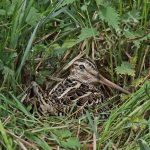 Great Snipe incubating eggs