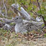 Greenshank incubating eggs