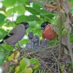 Pair of Bullfinches at the nest with young