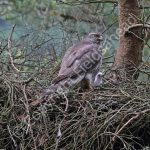 Female Goshawk at the nest with young