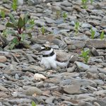 Little Ringed Plover incubating eggs