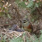 Male Cirl Bunting at the nest with young