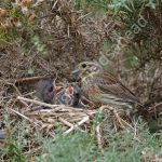 Female Cirl Bunting at the nest with young