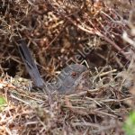 Female Dartford Warbler brooding young