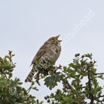 Male Corn Bunting singing