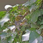 Male Firecrest feeding female on the nest