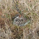 Red necked Phalarope incubating eggs