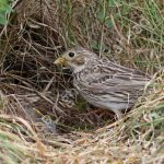 Female Corn Bunting at the nest with young