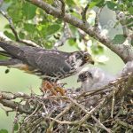 Hobby at the nest with young