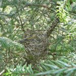 Female Crossbill incubating eggs