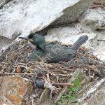 Female Shag incubating eggs
