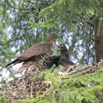 Male Honey Buzzard at the nest with young