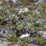 Turnstone incubating eggs