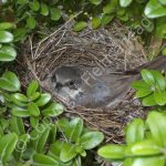 Lesser Whitethroat incubating eggs