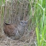 Young Cuckoo in a Tree Pipit nest