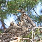 Fieldfare feeding young
