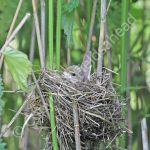 Marsh Warbler incubating eggs