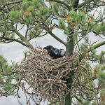 Raven at the nest with eggs