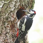 Male Greater Spotted Woodpecker at the nest hole
