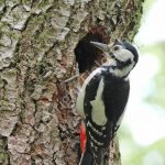 Female Greater Spotted Woodpecker at the nest hole