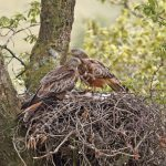 Pair of Red Kites at the nest with young