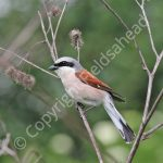 Male Red Backed Shrike