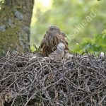 Male Red Kite at the nest with young