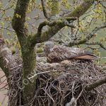 Female Red Kite on the nest with eggs