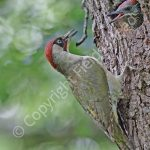 Male Green Woodpecker feeding young