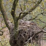 Female Red Kite incubating eggs