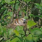 Female Hawfinch Incubating eggs
