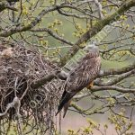 Female Red Kite at the nest with eggs