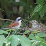 Male Red Backed Shrike feeding the female on the nest