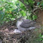 Female Sparrow Hawk at the nest with young