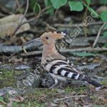 Male Hoopoe with food for incubating female