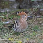 Female Hoopoe