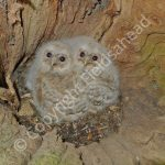 Young Tawny Owls in nest hole