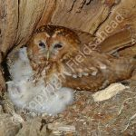 Tawny Owl brooding young