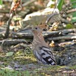 Female Hoopoe emerging from the nest hole