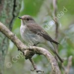 Female Spotted Flycatcher