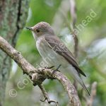 Male Spotted Flycatcher