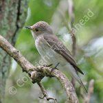 Male Spotted Flycatcher