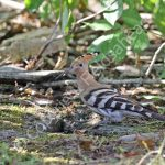 Female Hoopoe at the nest hole