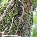 Spotted Flycatcher at the nest hole