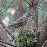 Mistle Thrush feeding young
