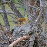 Female Pine Grosbeak incubating eggs