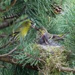Male Siskin feeding female on the nest